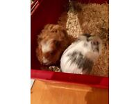 Two male Guinea Pigs (1 year old) + cage and accessories