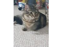 Male Tabby Cat- called toby 1 year and 4 months