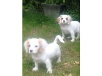 Cavachon Puppies 1 boy 345, girl 375