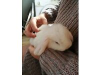 Baby lop ear rabbits