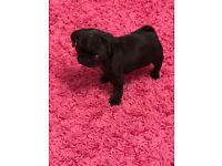 Pug puppy 16-18w