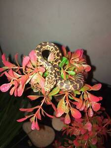 baby spotted python for sale Endeavour Hills Casey Area Preview