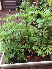French marigolds plants