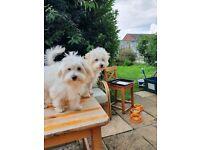 2 Gorgeous Bichon Maltese for sale
