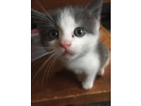 kittens for sale between 70 to 120gbp