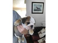 Red and White English Bulldog Puppies FOR SALE