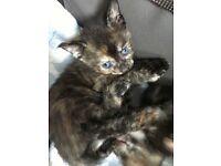 Parts Siamese girl kitten