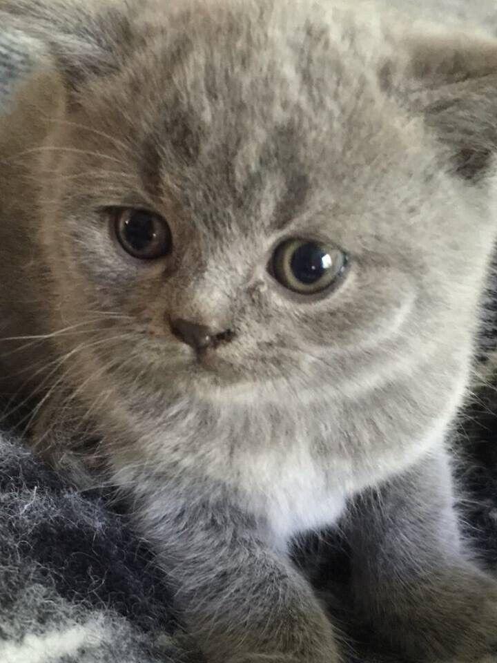 Gorgeous Bsh Blue Pedigree Kitten For Sale London In Edgware London Gumtree
