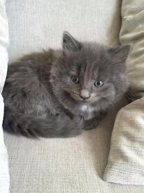 Gorgeous long haired grey male kitten - fully litter trained - flea & worm treated