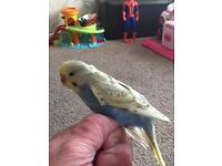 Budgie baby for sale
