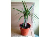 Dragon Tree House Plant