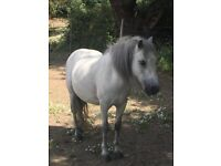 Gorgeous 11hh 7 year old grey mountain pony for sale or loan