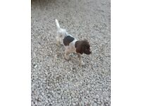 German Wirehaired Pointer Puppy Girl