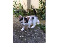 8 weeks kittens looking for home