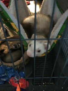 Pair of Ferrets for sale