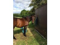 Urgent - Beautiful horses and pony for loan