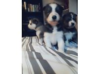 Beautiful 11 week old husky pup for sale