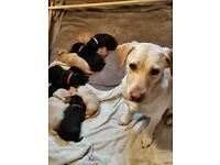 THETFORD - Labrador puppies for sale