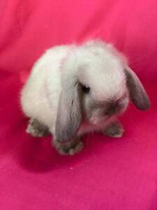 ♦♦♦ Vaccinated Purebred Minilop Baby Rabbits ♦♦♦ Londonderry Penrith Area Preview