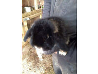 lopear rabbit