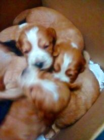 9 GORGEOUS SPROKER SPANIEL PUPPIES FOR SALE