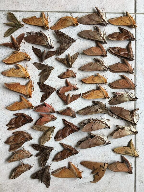 TL50 # Mixed lot of 50 Unmounted MOTH Sphingidae Hawkmoth Vietnam CENTRAL