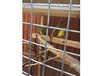 Senagal parrots for sale