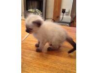 Beautiful male Siamese kitten