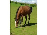 Of of a kind horse available on FULL loan/LWVTB sale considered to the right person