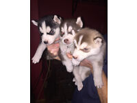 adorable husky puppys