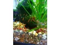 Red cherry shrimps 🦐 50p each