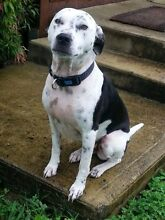 Free Dalmation X to loving home Clunes Lismore Area Preview