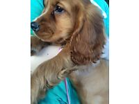 1 1/2 year old female English cocker spaniel for sale.