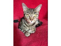 BENGAL (NOT) NEUTURED FEMALE CAT
