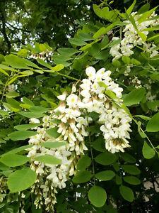 25 BLACK LOCUST FLOWERING TREE White False Acacia Seeds