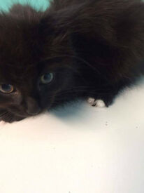 2 BEAUTIFUL BLACK FLUFFY KITTENS WITH WHITE BITS ON THEIR TOES