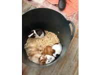 BEATIFUL BABY GUINEA PIGS FOR SALE