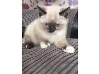 8 week old white kitten