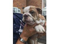 Blue Fawn Triple Carrier English Bulldog Boy