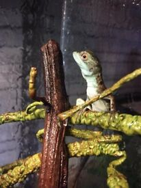 Pair of baby basilisks