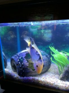 Cychlid fresh water fish Secret Harbour Rockingham Area Preview