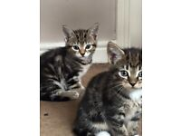 2 beautiful boy kittens for sale