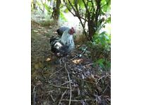 2 Bantam Cockerels, 4 months old, FREE......can go separately.