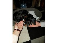Dashund pups for sale