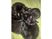 KITTENS FOR SALE 5 GIRLS AND 1 BY BEAUTIFUL BROWN AND BLACK STRIPES