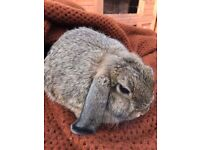 4 month old mini lop Buck