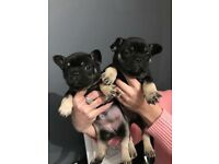 3 beautiful frechbulldog puppie