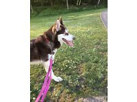 Female husky approximately 2 years old