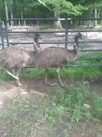 EMUS FOR SALE / A VENDRE