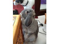 French Lop Rabbit free to a good home, cage and accessories also.
